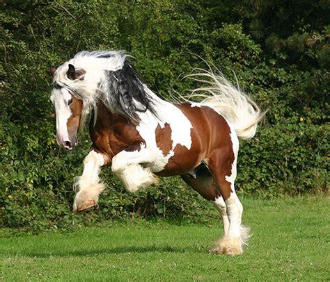 connemara pony horses photo  fanpop