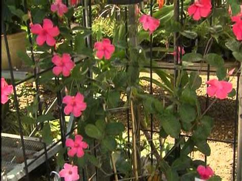 Mandevilla Takes Colorful Flowering Vines To New Heights