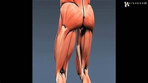 Human Male Body And Muscular System