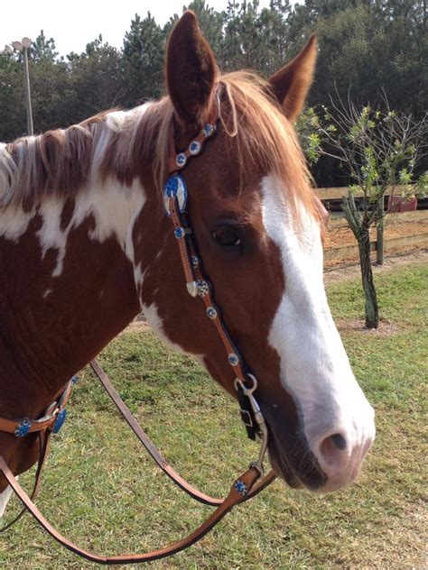horse horses paint fancy pretty breeds american painted bridle different pinto ponies pony animals