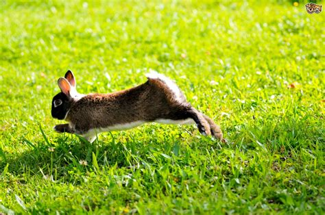 hopping bunny vertebral fractures and paralysis in rabbits pets4homes