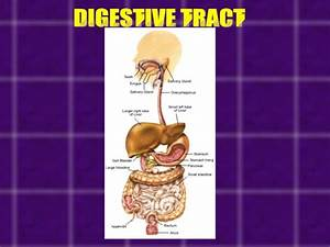 Accessory Organs Of Digestive System