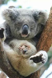 Baby koala peeking out of his mum's pouch, Taronga Zoo ...