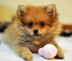 do pomeranians shed about doggies