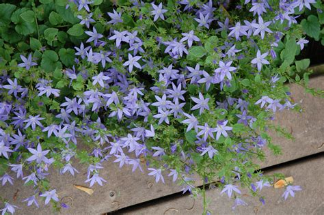 best plants for sun and shade siberian bellflower audrey s plantmania
