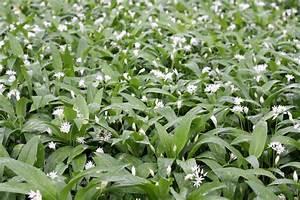 Bärlauch Pflanze Kaufen : b rlauch anpflanzen den wilden knoblauch selbst pflanzen plantura ~ Eleganceandgraceweddings.com Haus und Dekorationen