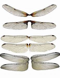 88 Best Images About Dragonfly Illustrations On Pinterest