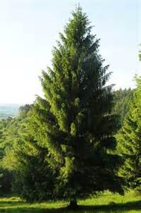 flower shop picea abies spruce pfaf plant database