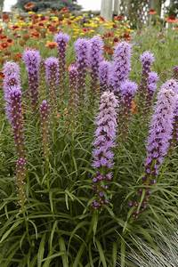 Liatris Spicata Kobold : native plants for midwest gardens hgtv ~ Watch28wear.com Haus und Dekorationen