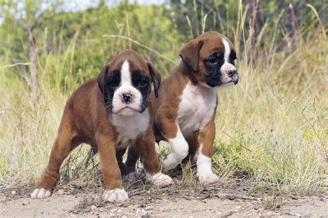life span  boxer dogs cuteness