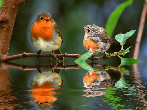 Make your phone unique by personalizing it 30 best american robin bird wallpaper hd selection. LISI🌷 on | European robin, Robins and Babies