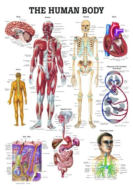 The skeleton & bones category covers the bones and function of the human skeleton, the axial and appendicular skeleton, the anatomy of the spine, types of joints including synovial joints, types, and shapes of. The Human Body Chart - Clinical Charts and Supplies