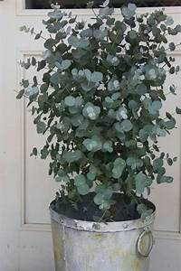 Eucalyptus Plante D Intérieur : eucalyptus les plantes d 39 int rieur eucalyptus plante plante jardin en fleurs terrasse ~ Melissatoandfro.com Idées de Décoration