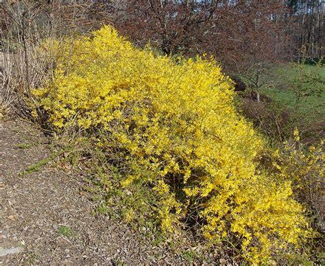 forsythia shrubs gold tide forsythia