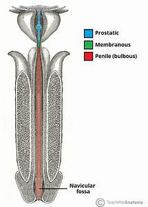 Male Bladder And Urethra Diagram Pictures