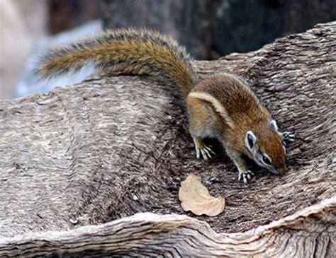 congo rope squirrel life expectancy