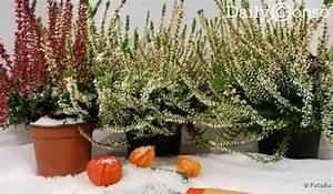 Plantes D Hiver Extérieur Balcon : plantes et fleurs d 39 hiver ~ Nature-et-papiers.com Idées de Décoration