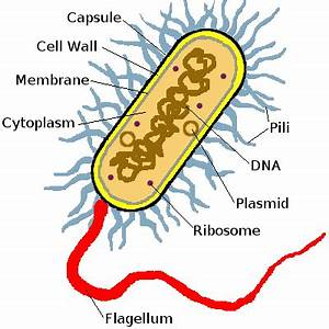 Bacteria Diagram Labeled - ClipArt Best