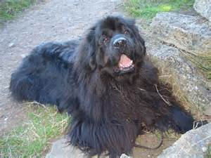 do newfoundlands shed bunkblog
