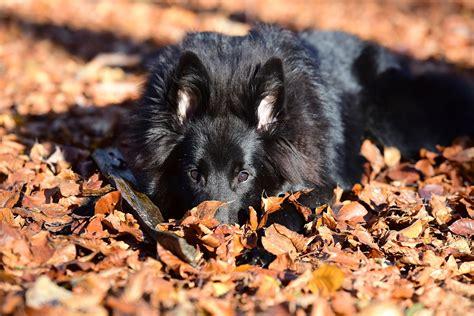 7 สายพันธุ์สุนัขขนสีดำสุดนุ่มลึก สำหรับสายแบล็คไลท์ ...