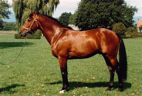 fotos pferden freiberger pferd