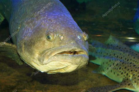epinephelus lanceolatus grouper giant japan depositphotos
