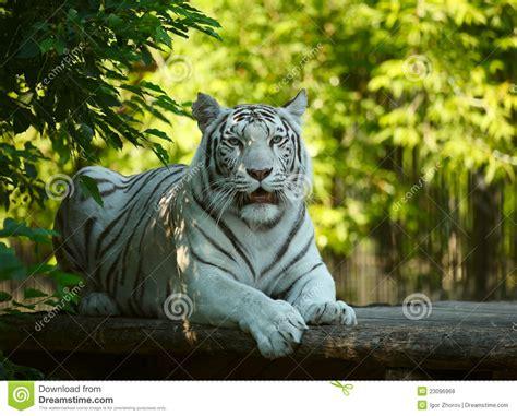 White Tigress Royalty Free Stock Photos Image