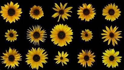 Sunflowers Evolution Supergenes