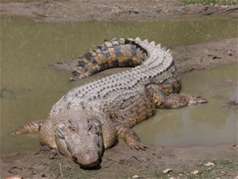what color are crocodiles marine reptiles marine studies per 3