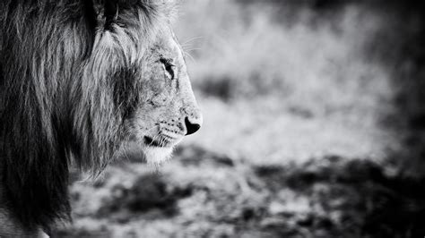 Lion Black And White High Quality Wallpapers 6483