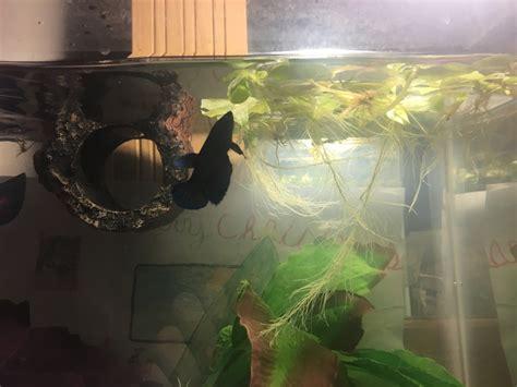 Betta Attacking Floating Plants  My Aquarium Club