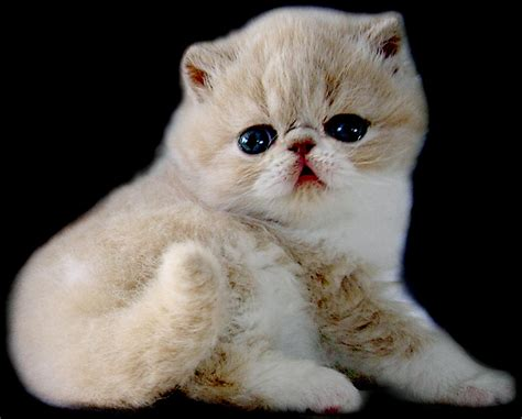 Shorthair Cat - shorthair cats pets and docile