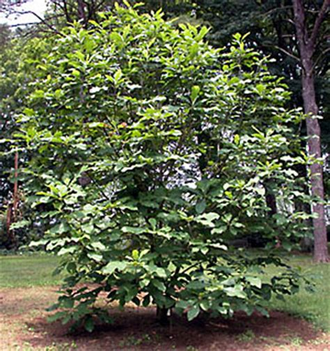 umbrella magnolia bernheim arboretum  research forest