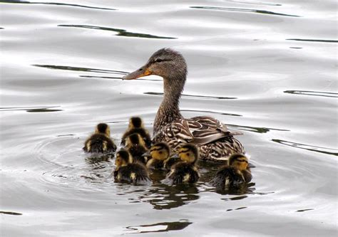 Ak4 June21 Female Duck And Ducklings Possibly A Blue