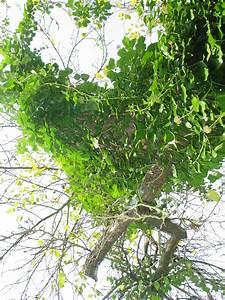 Efeu Als Zimmerpflanze : florilegium der pflanzen efeu hedera helix ~ Indierocktalk.com Haus und Dekorationen