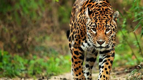 Jaguar Picture by The Jaguar A Cultural Icon Of America For