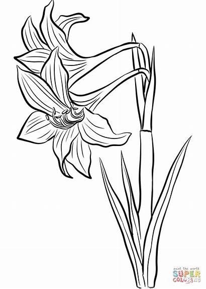 Amaryllis Ausmalbilder Coloring Zum Ausmalbild Basteln