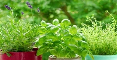 plante anti puceron 8 rem 232 des naturels que vous pouvez faire pousser chez vous