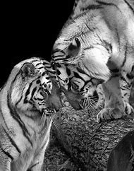 Tiger Black and White Photography Animals