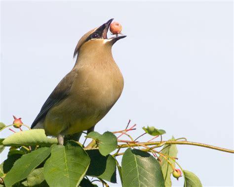 feed fruit eating birds duncraft