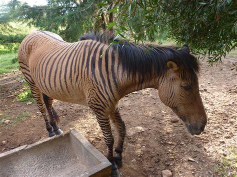 cross between zebra donkey horse african animal kenya holden william fotki nanyuki orphanage
