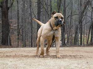 walking perro de presa canario photo