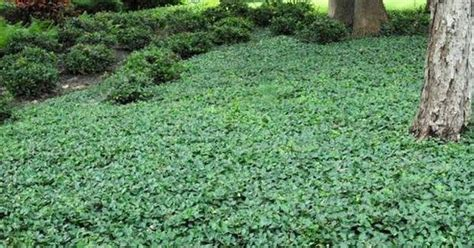 Gallery For Types Of Ground Cover Shade Plants And