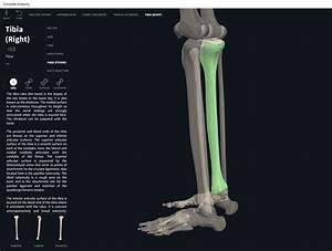Bones  Tibia   U2013 Anatomy  U0026 Physiology