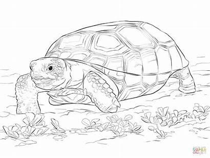 Tortoise Coloring Gopher Tartaruga Realistic Tortuga Colorear