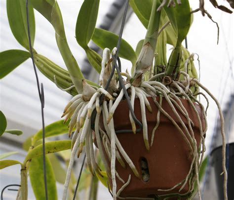 repotting orchids with roots when to repot 101 gardenbanter co uk