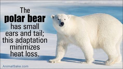 Animal Adaptations Polar Bear