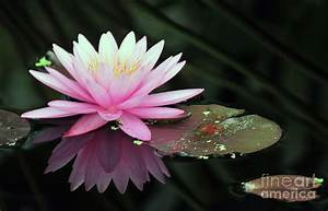 Lily Pads Water Lilies Reflections Pink Flowers Wallpaper ...