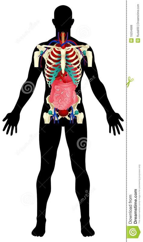 human organs royalty  stock  image