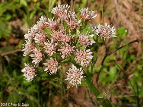 petasites frigidus sweet coltsfoot minnesota wildflowers